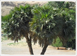 Hyphaene thebaica - Doum Palm or Gingerbread Tree