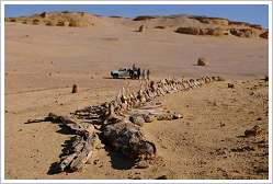 Largest whale skeleton in the world discovered in the Siwa Oasis