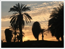 Infested palm trees on Luxor's west bank